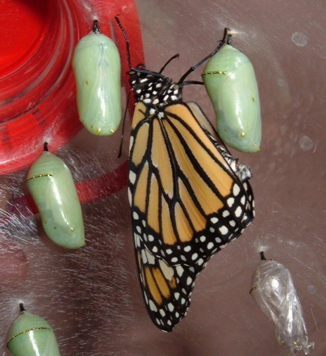How to Attract Monarch Butterflies to Your Garden: Grow Milkweed