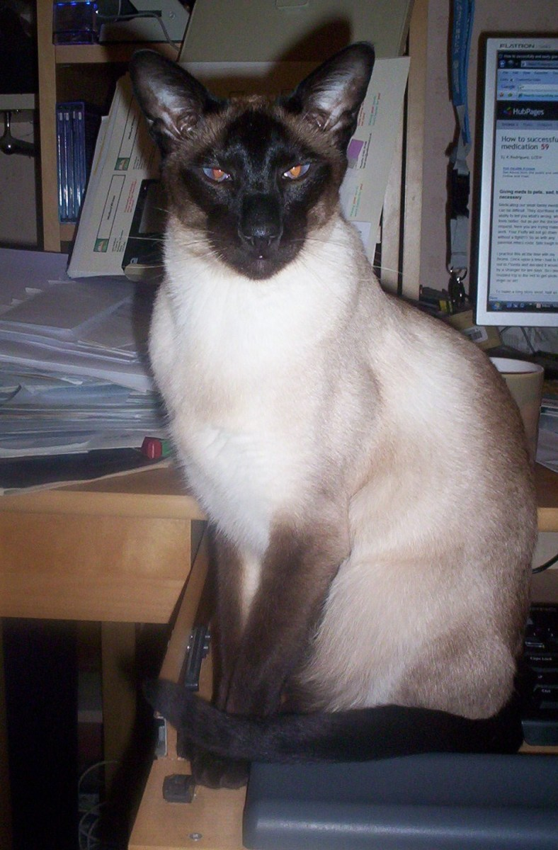 My Siamese Cat