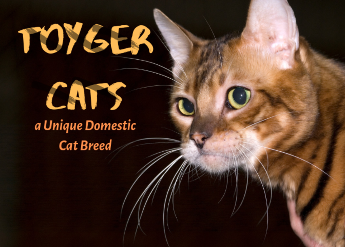 The Toyger is an exotic breed of domestic cat.