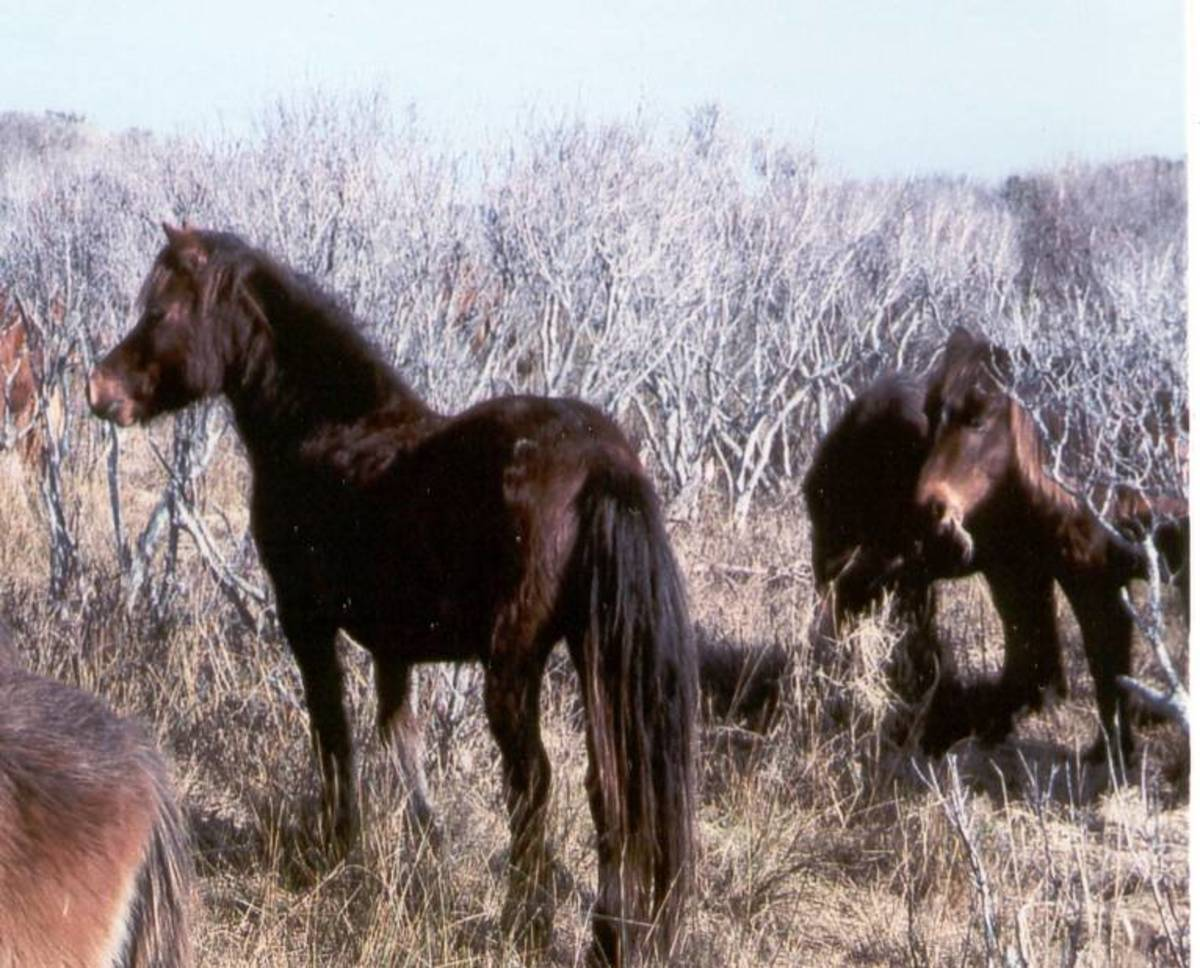 Banker Ponies: Wild Horses of the Outer Banks