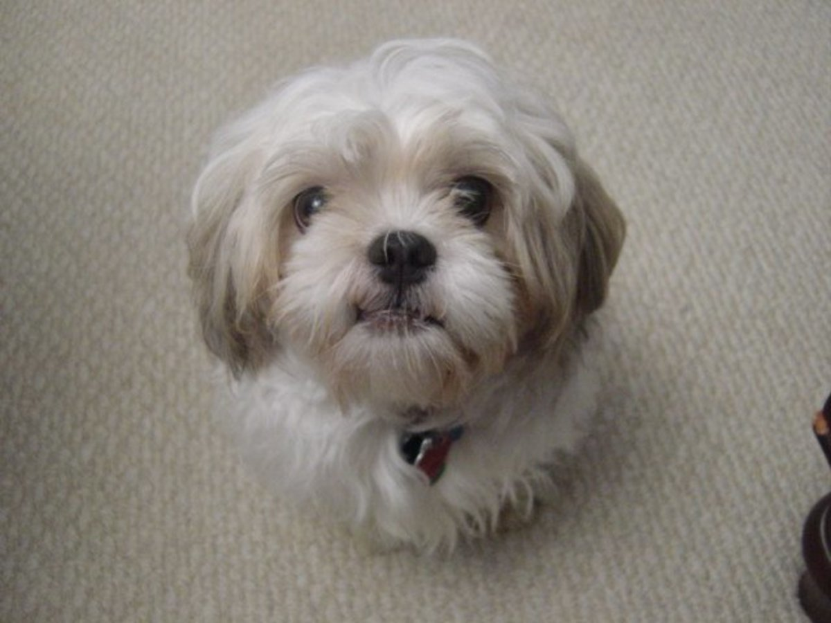 Grooming Your Shih Tzu: Keeping Your Dog Clean