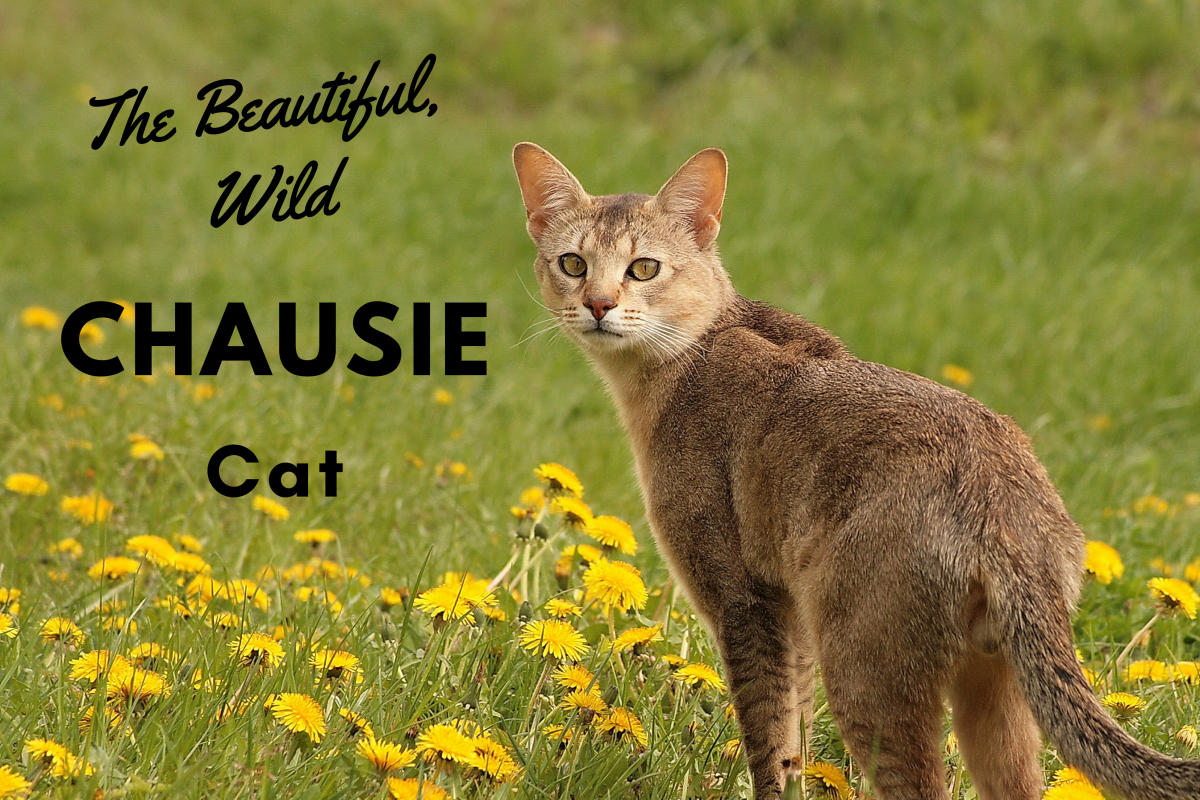 The Chausie cat is a hybridized domestic cat breed.