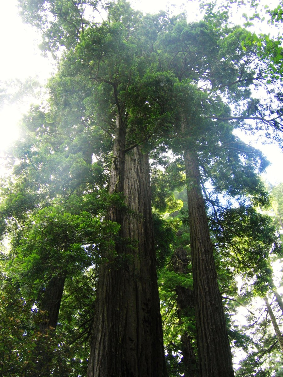California Road Trip: Lady Bird Johnson Grove, Redwood National Park