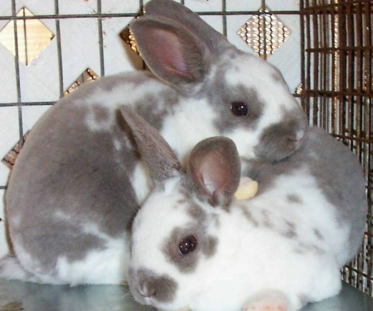 Bunny Breed Guide: Rex Rabbits