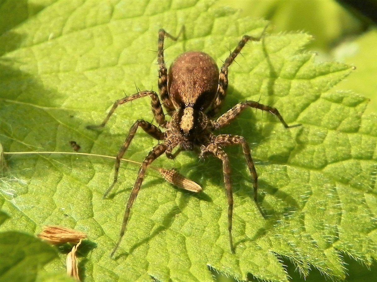 A female wolf spider (Pardosa lugubris)