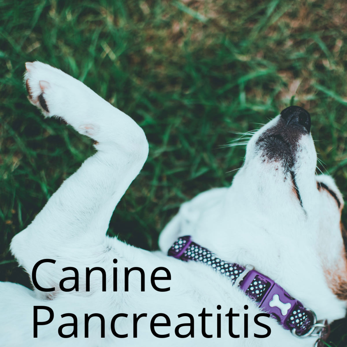 What Is Canine Pancreatitis?