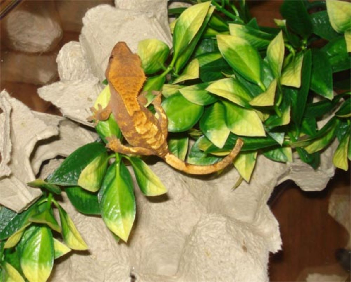 How to Set Up a Simple or Natural Crested Gecko Enclosure