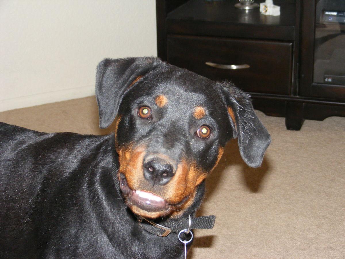Common Dog Ear Problems Pethelpful