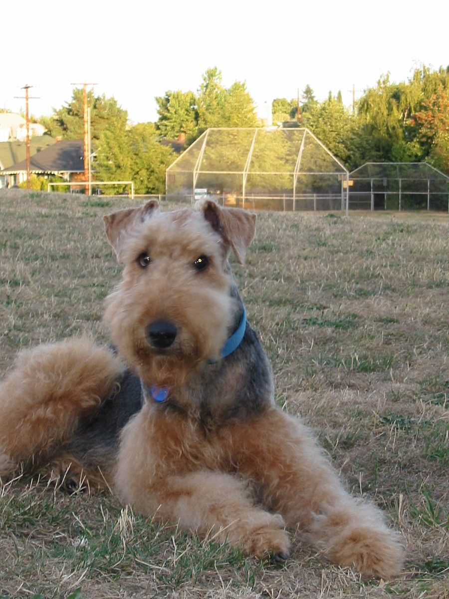 Tips for Training an Unruly Airedale Terrier