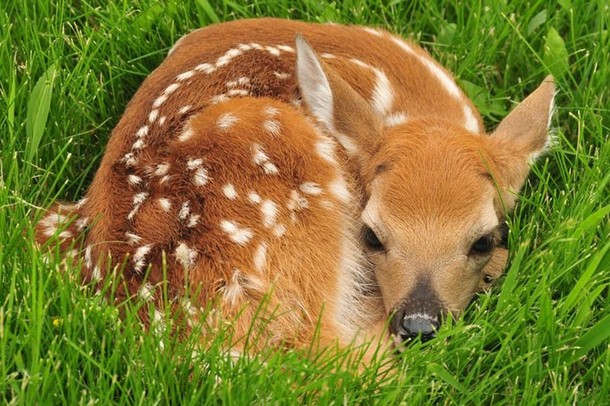 A Fawn Waiting for Mom