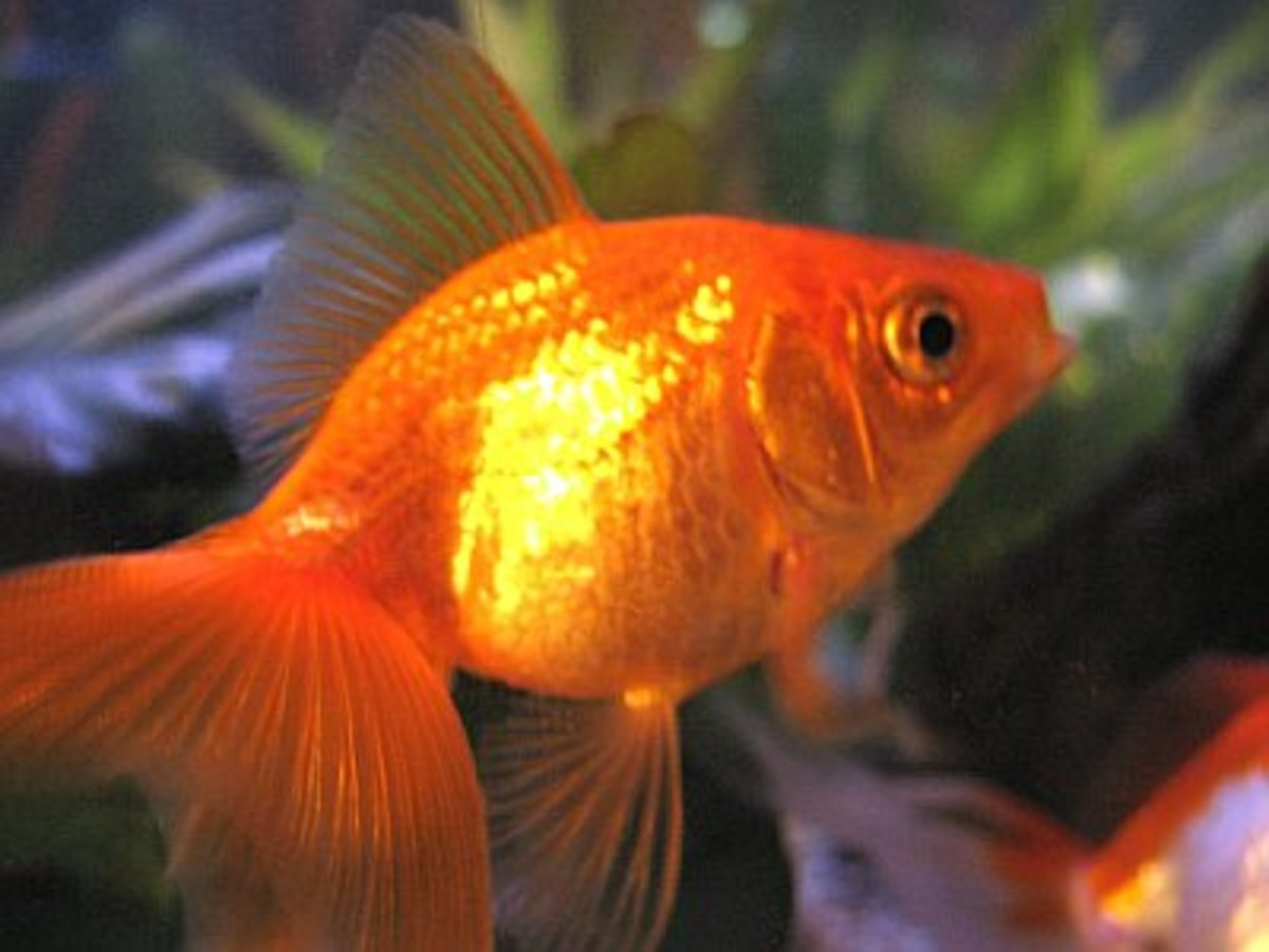 The Story of the Suicidal Goldfish