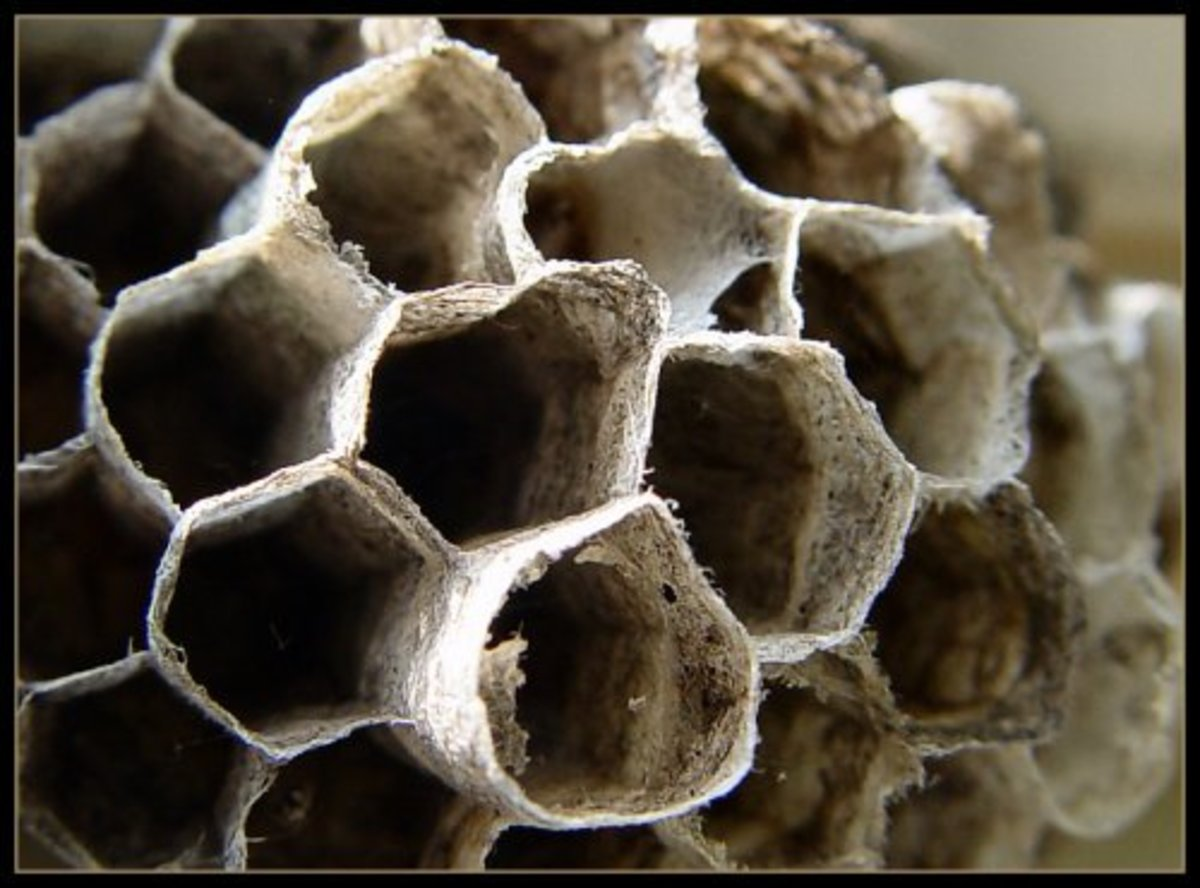 Easy Instructions For Relocating A Wasp Nest