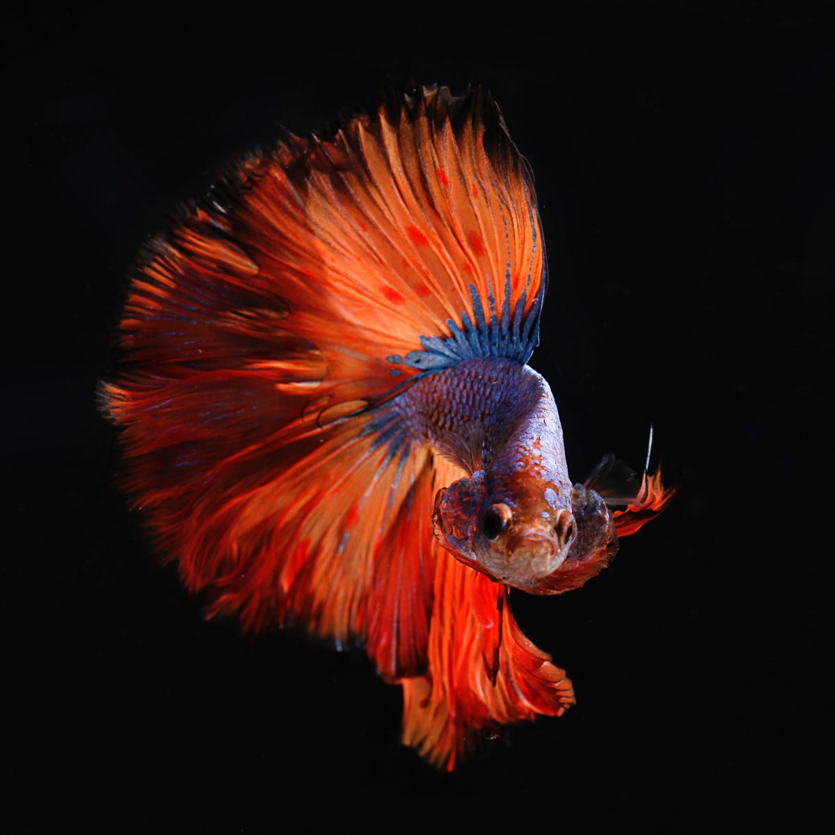 Living Feng Shui: The Pretty Betta or Siamese Fighting Fish as a Desktop Pet