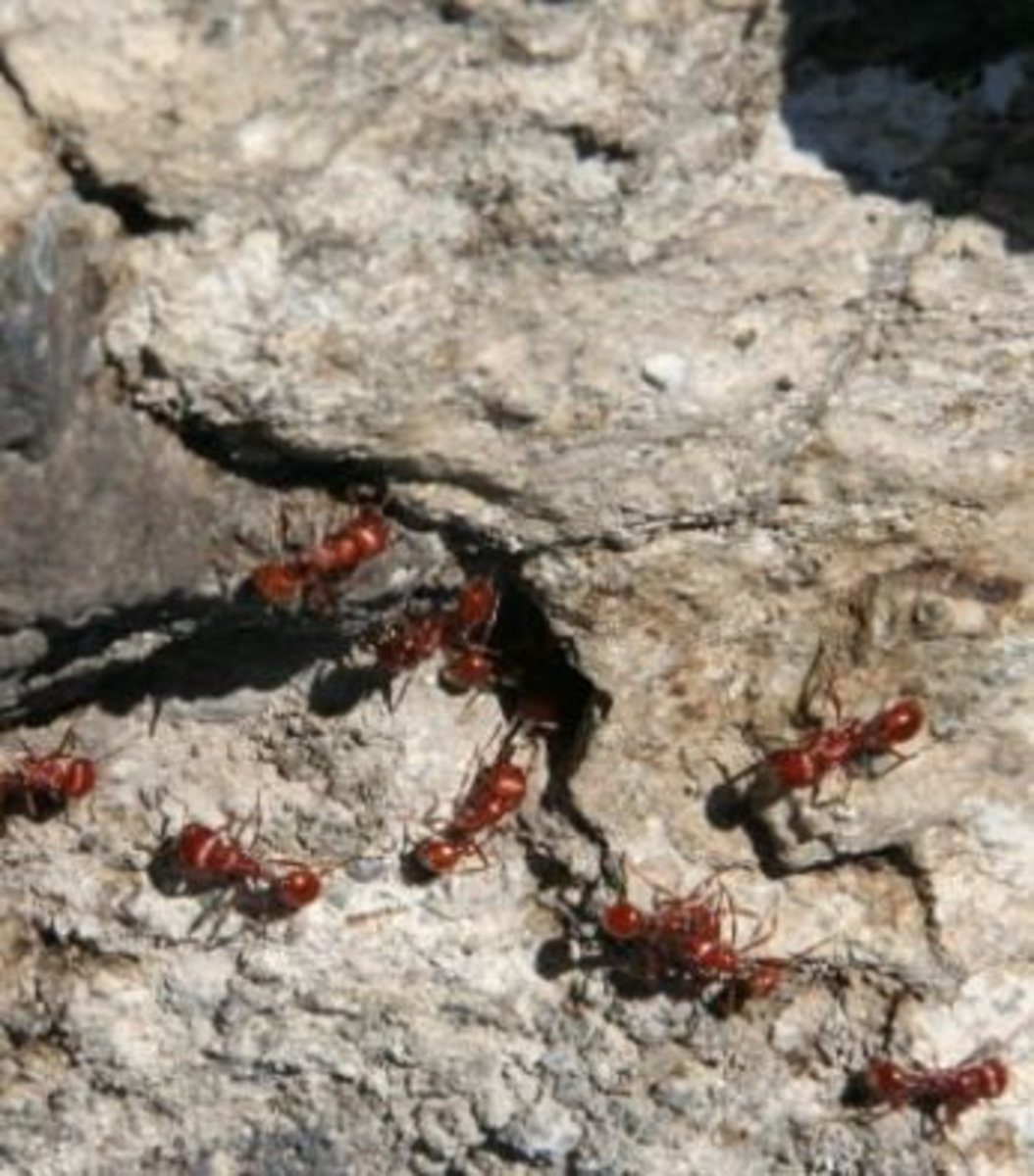 dog-fire-ant-bites