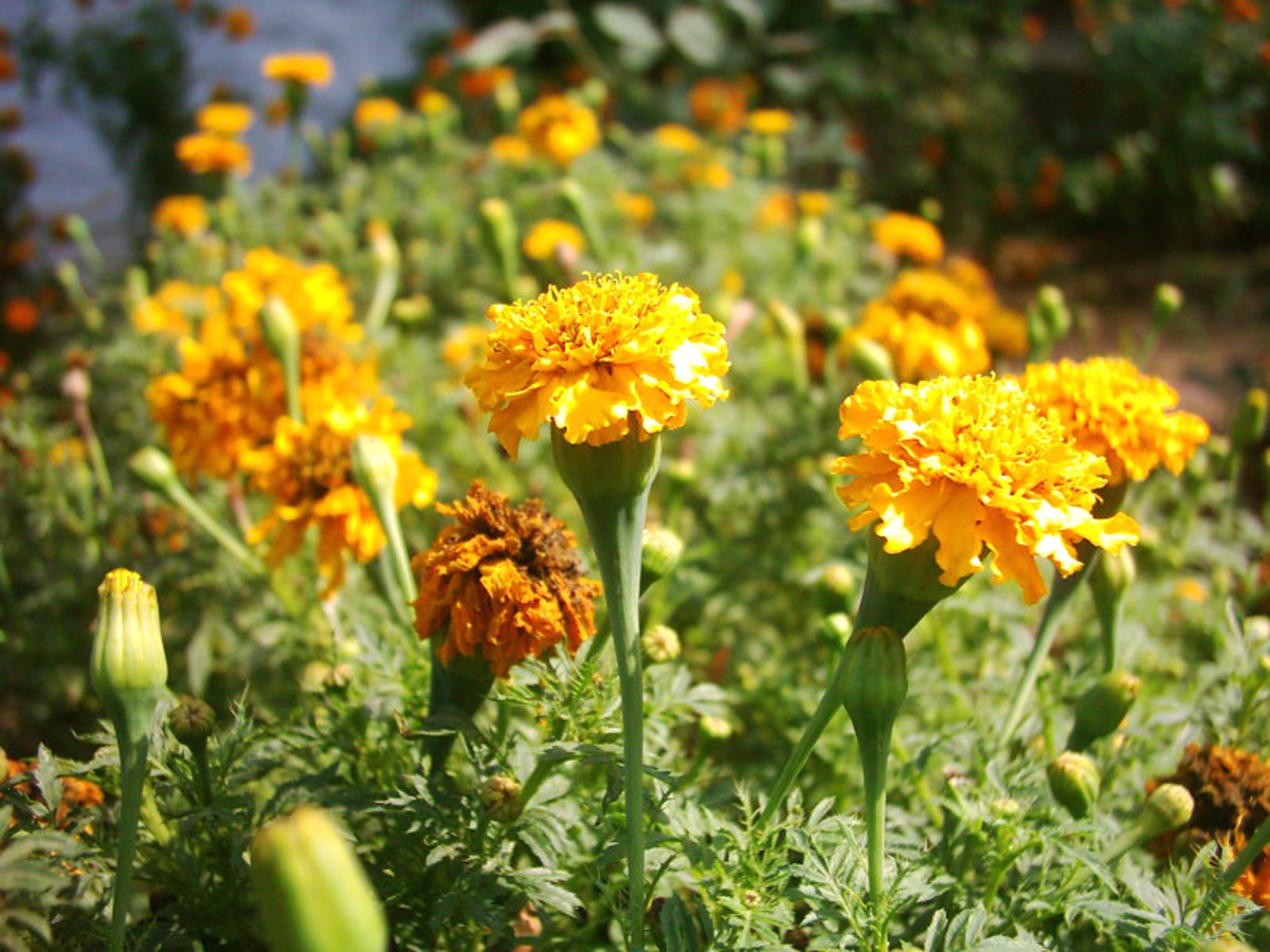 Marigold Tagetes  - These are the plain yellow variety - the most common variety but still very pretty and useful.