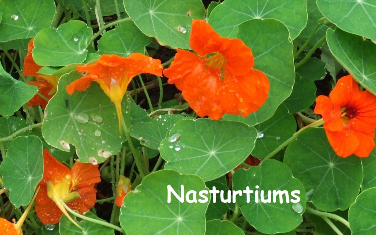 Nasturtiums come in different colors but are always cheery blooms. The leaves add a shock of green, and may also be variegated.