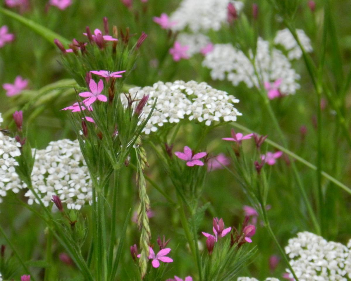 Yarrow flowers are gorgeous in the garden, a spray of color even in the most unwieldy soil.