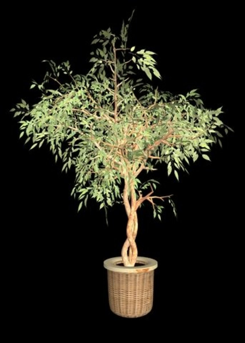 Potted ficus tree.  Photo by Fabinus08 at Dreamstime.