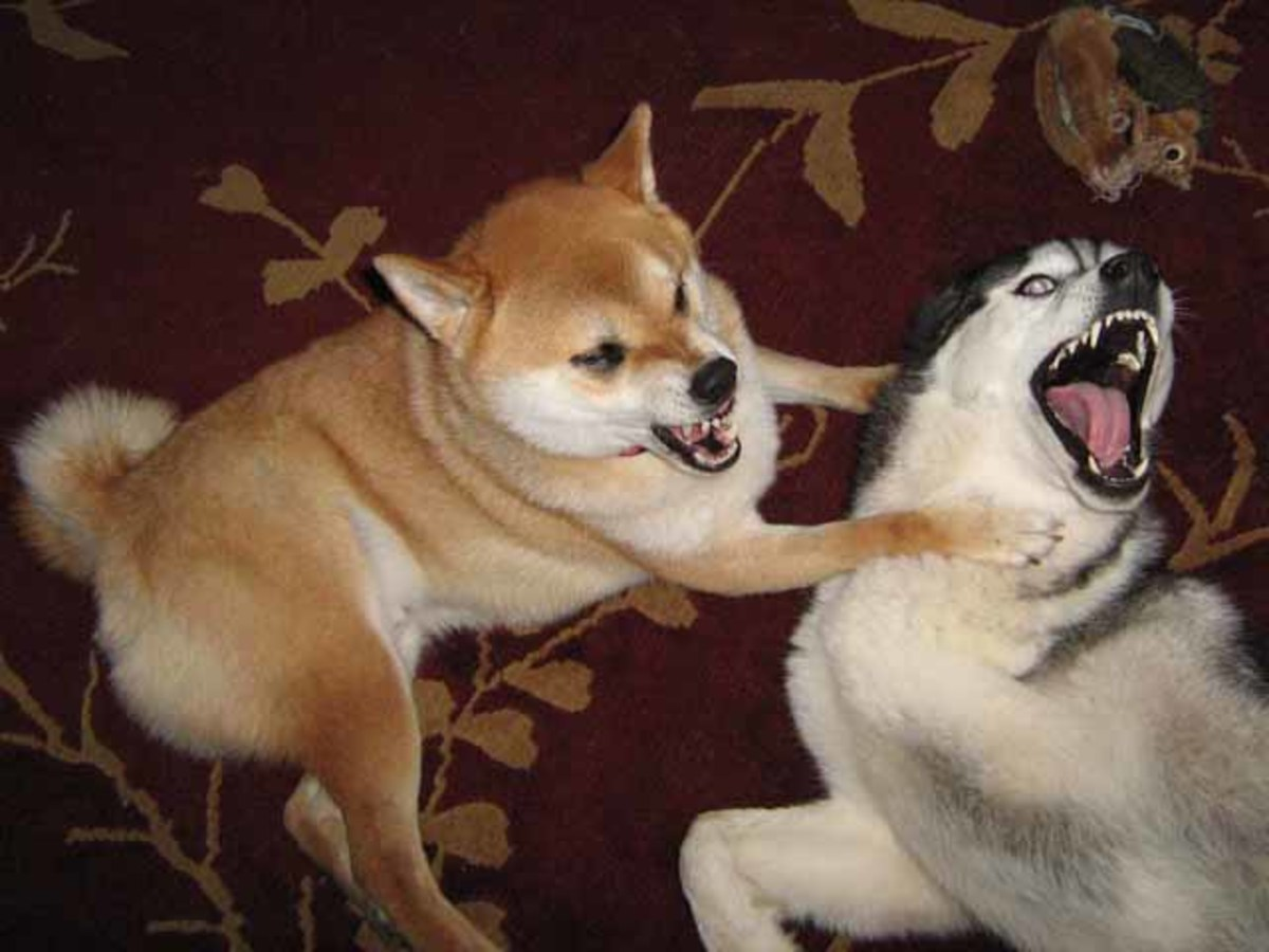 Stop Dog Aggression Toward Other Dogs PetHelpful - Three shiba inus stick their heads through wall to greet passers by