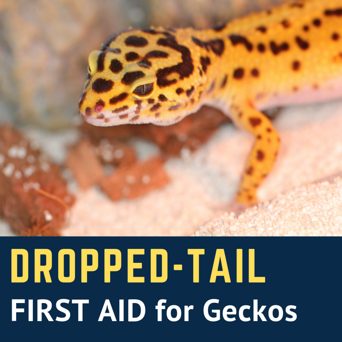 What to Do If a Leopard Gecko Drops Its Tail