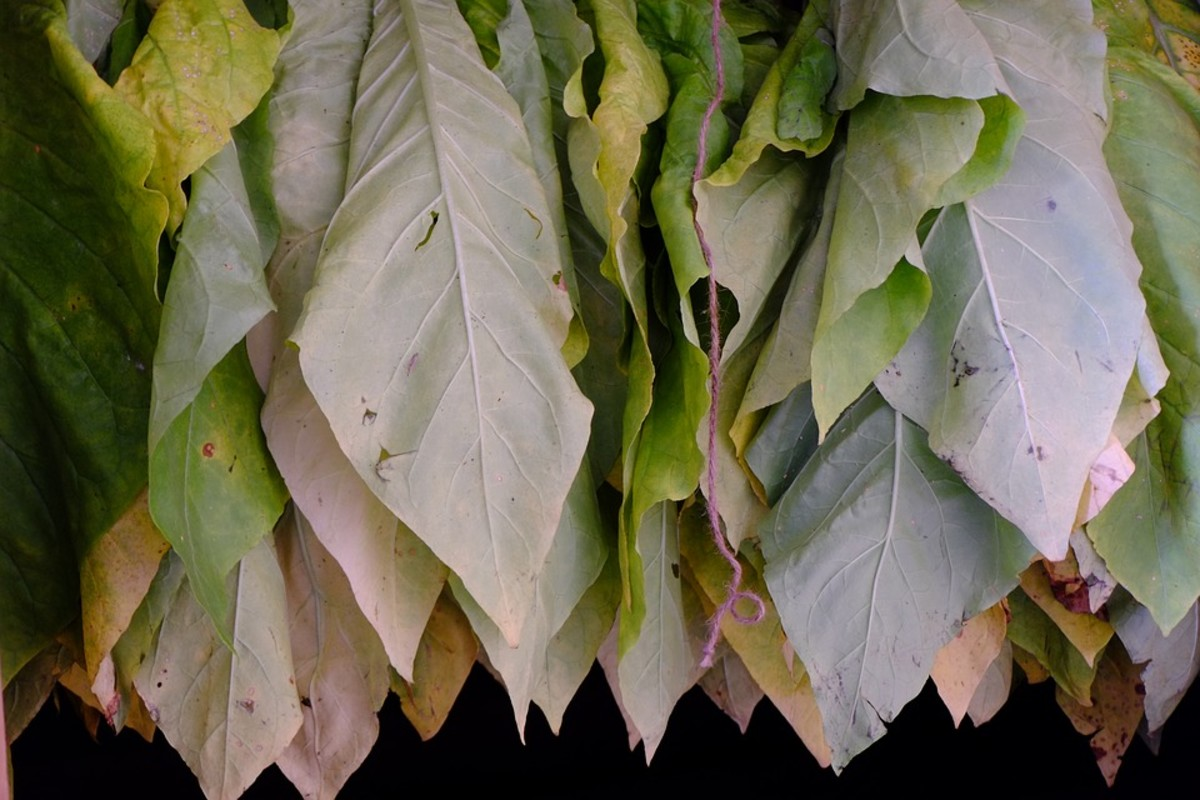 "Drying or ""curing"" home-grown tobacco leaves."