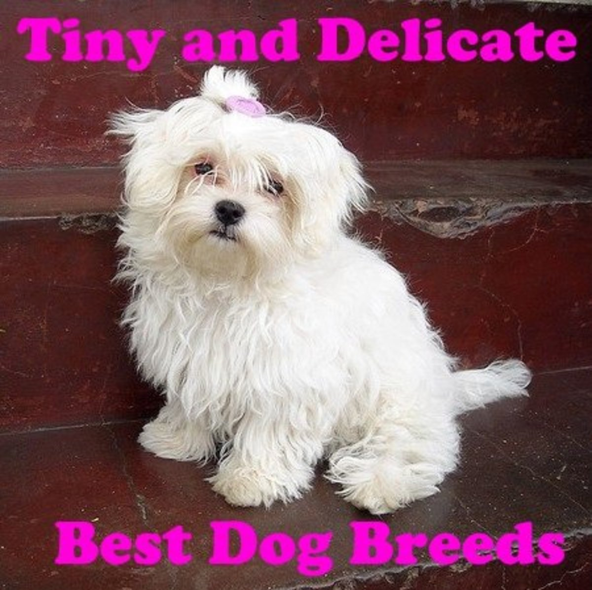 The Maltese is a tiny delicate dog breed that does not shed much.