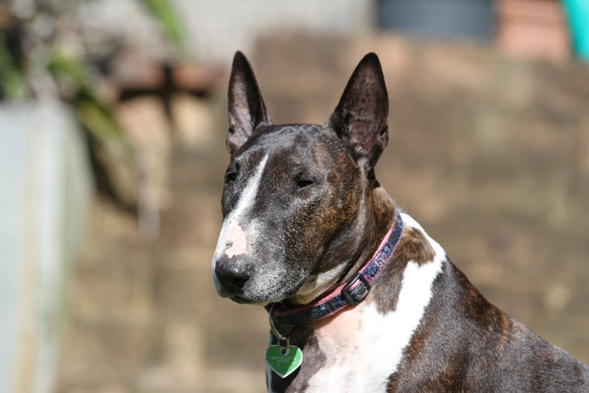 What Can I Expect From My Rescue Bull Terrier?