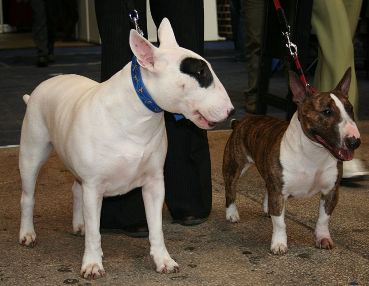 A standard white with a brindle and white mini Bull Terrier.