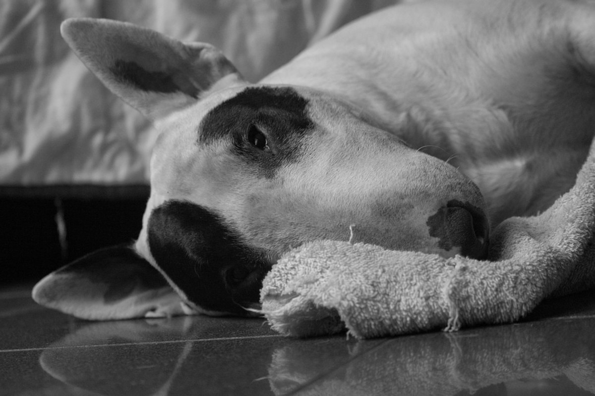 your-guide-to-the-lad-bull-terrier-puppy
