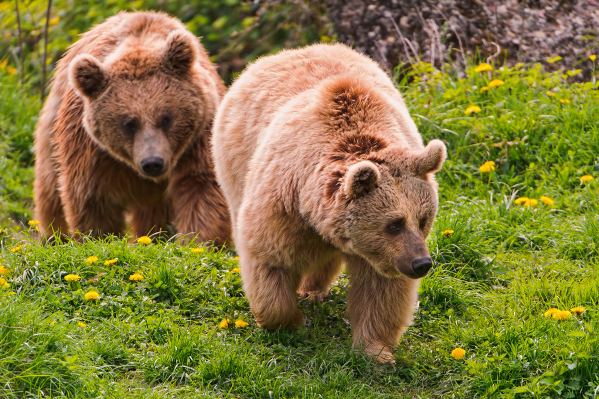 These bears look very similar to the one I saw the other night.