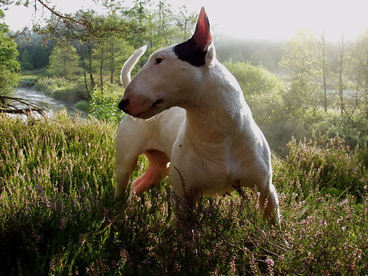 side profile of a bull terrier