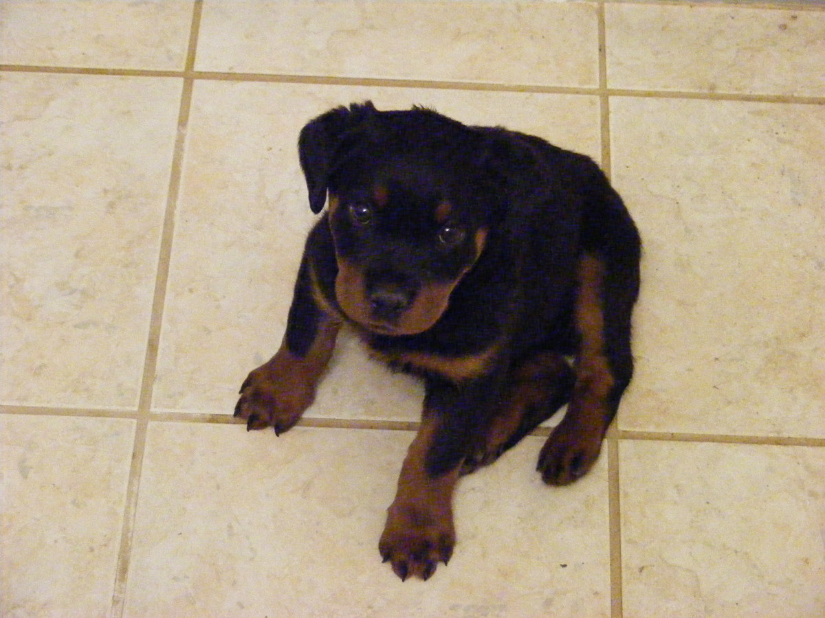 Rotties are prone to Parvo