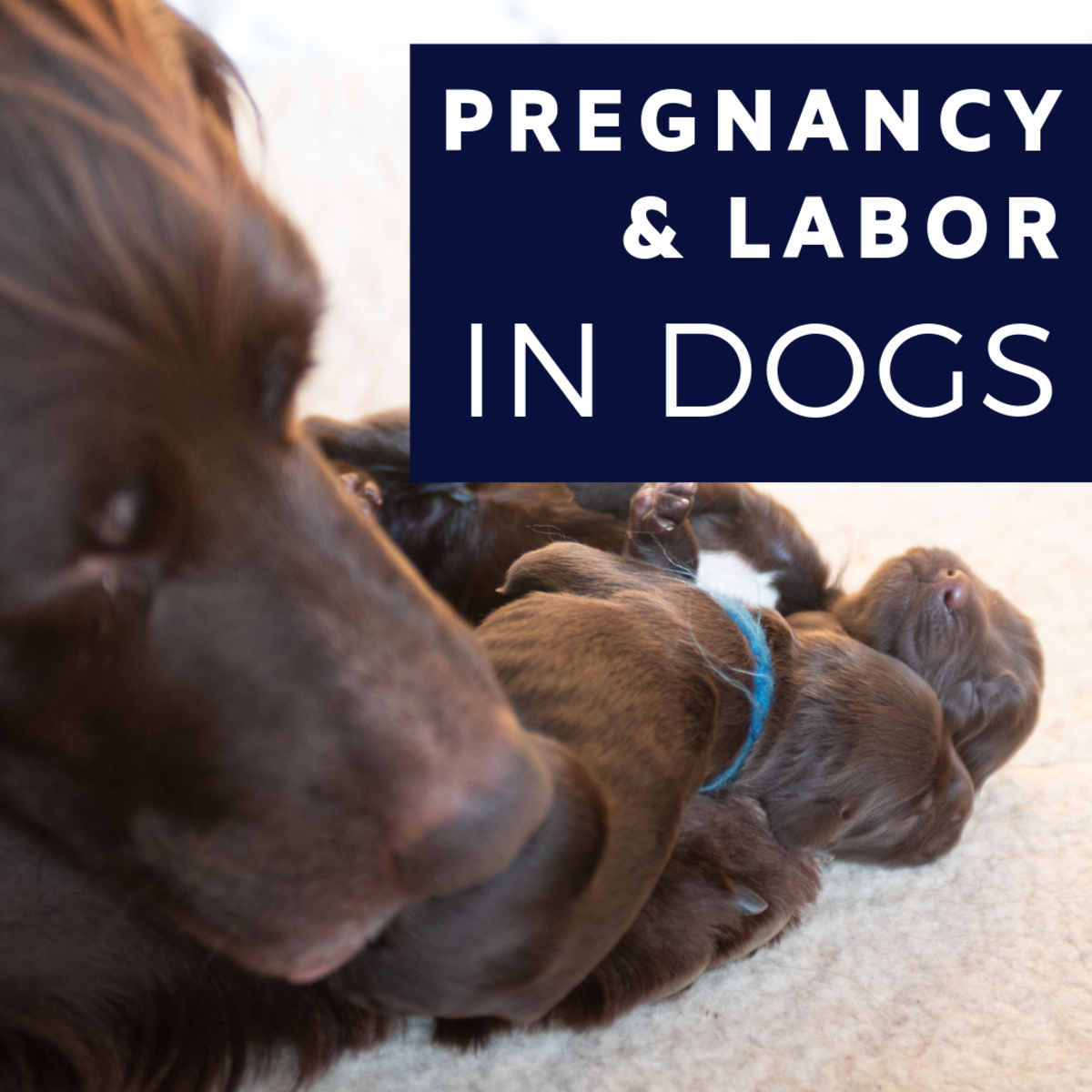 Pregnancy and Labor in Dogs