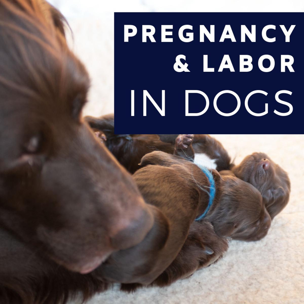 Gestation in Dogs