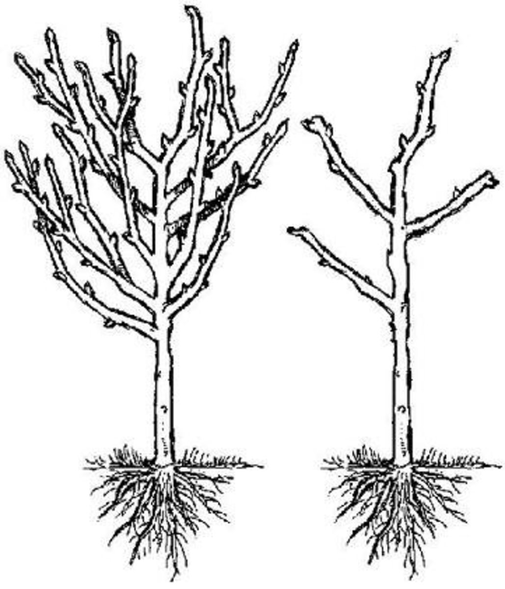 Pruned vs. unpruned: A pruned tree is stronger, healthier, and produces better fruit.