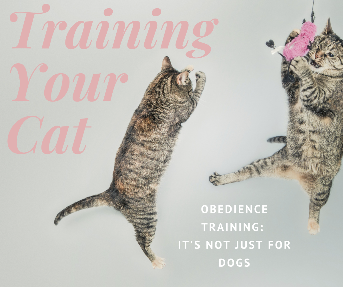 Obedience training isn't just for dogs. Read on to learn about training your cat.
