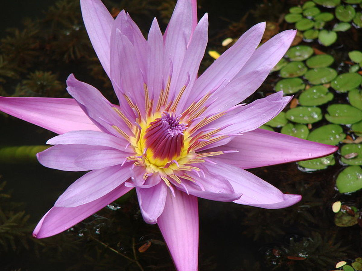 "As a lotus flower is born in water, grows in water and rises out of water to stand above it unsoiled, so I, born in the world, raised in the world having overcome the world, live unsoiled by the world"" -- Buddha"