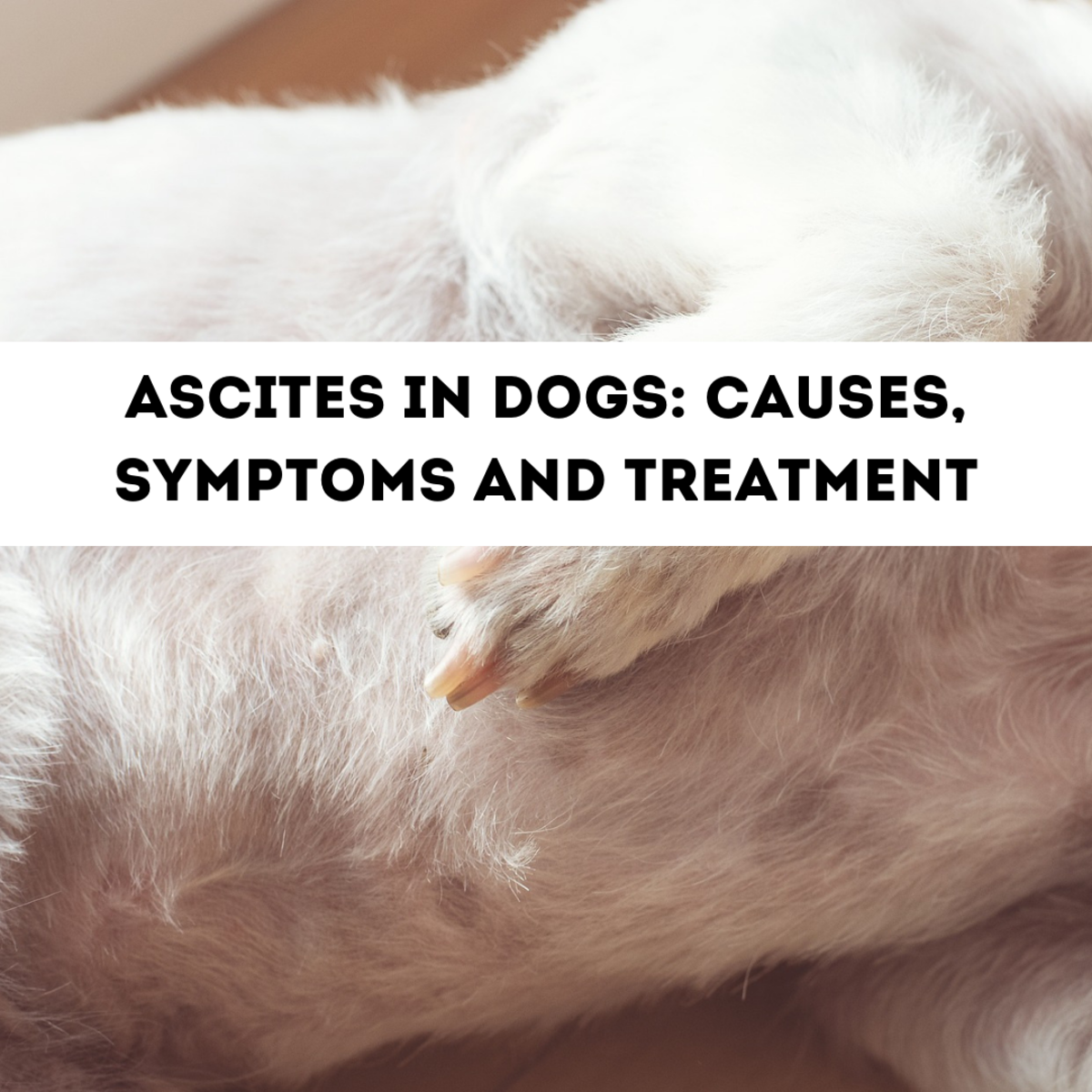 The Causes of Ascites (Fluid in the Abdomen) in Dogs