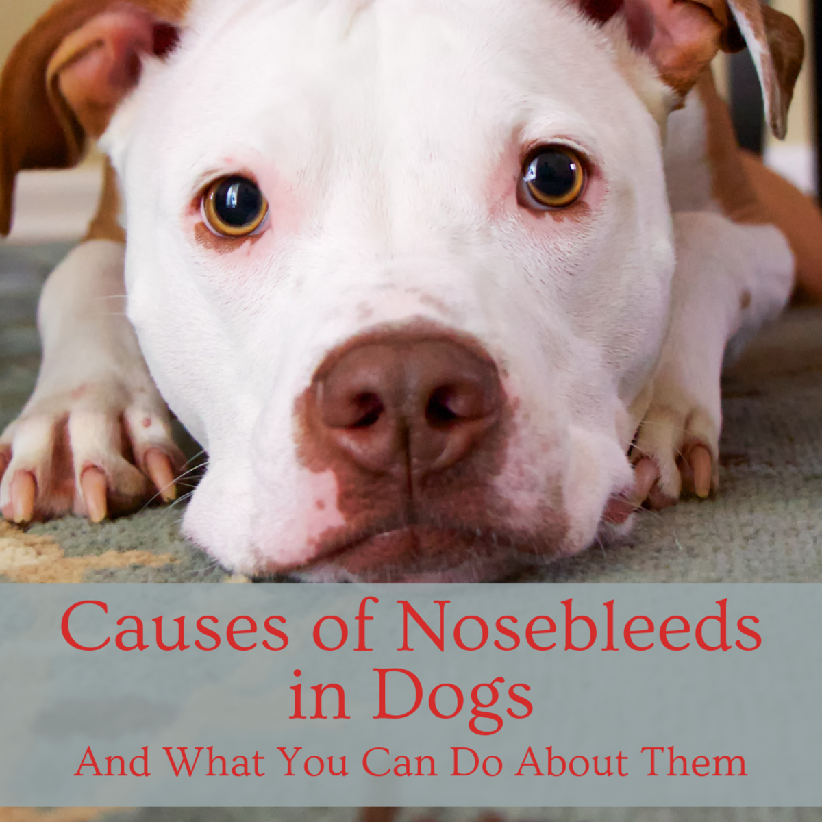 If your dog's nose starts bleeding it can be pretty scary.  Find out what to do in this situation.