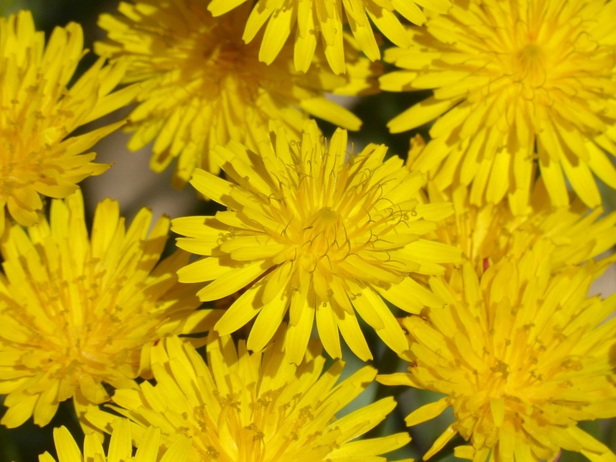 Lessons in Magical Herbalism: Dandelion