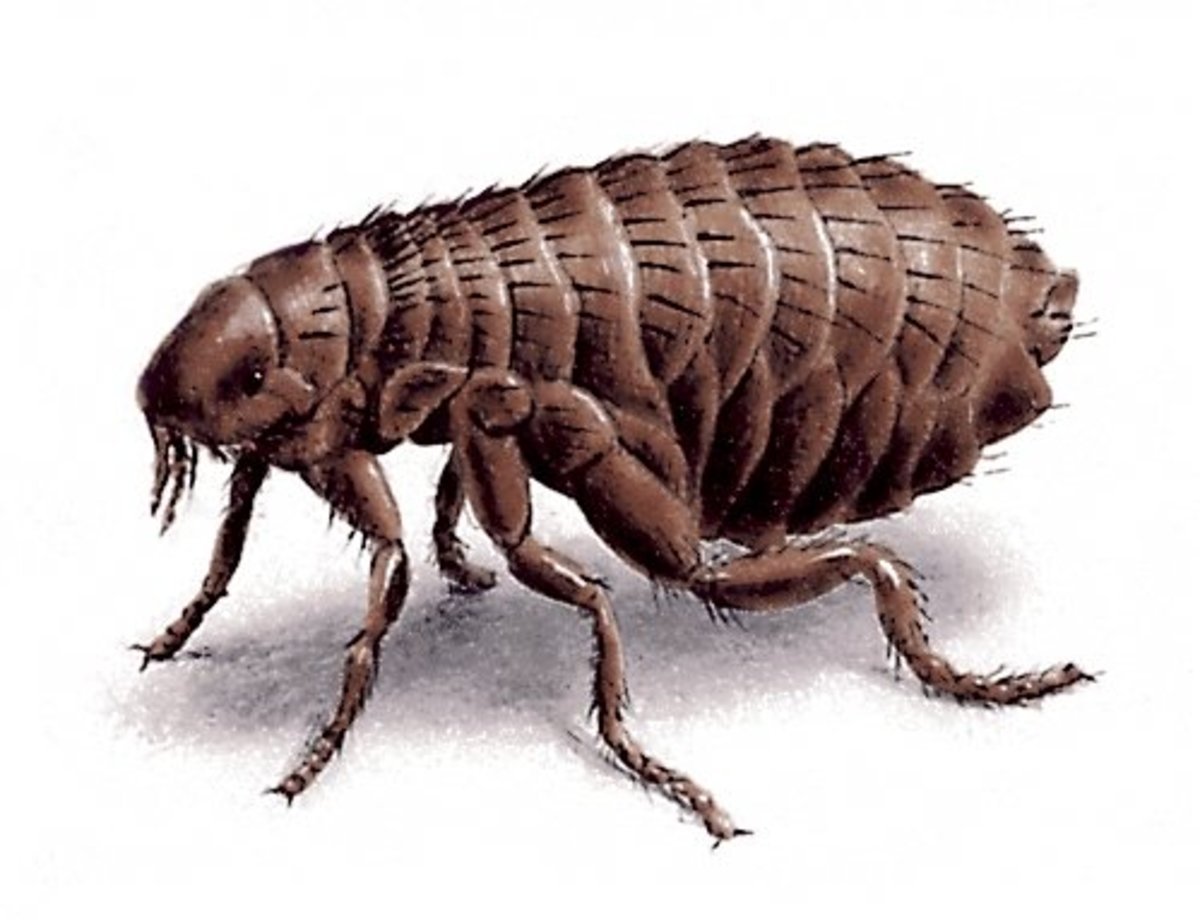Our constant companion, the flea.