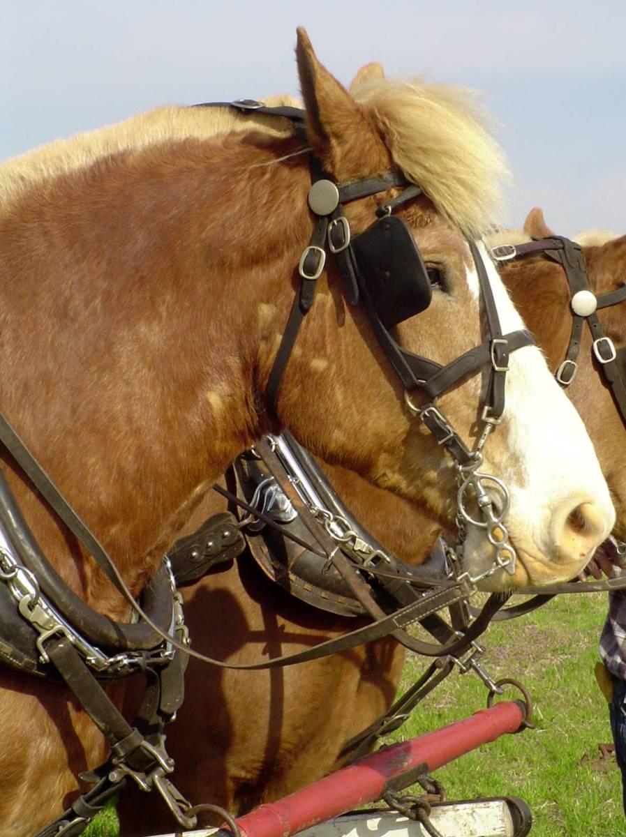 Draft horses can be susceptible to certain health issues