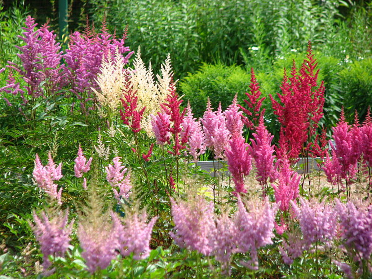 Colorful Astilbes