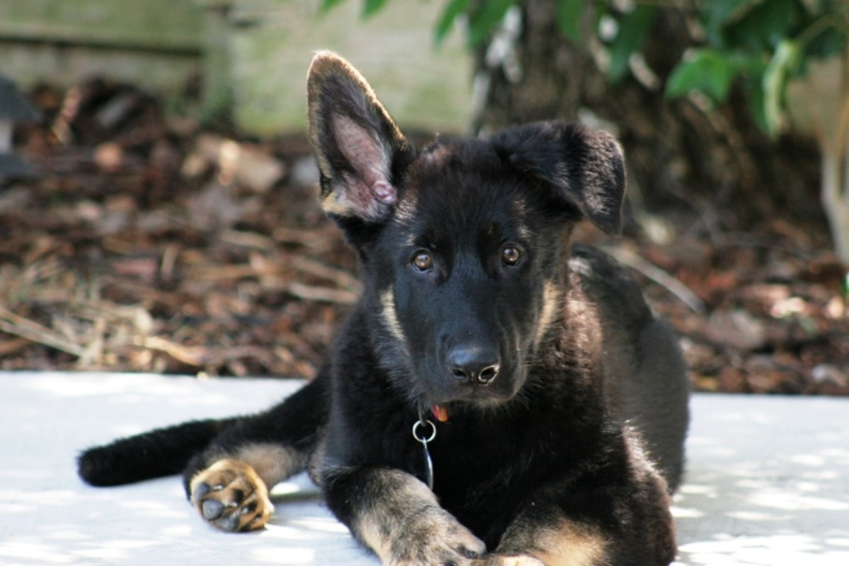 working german shepherd