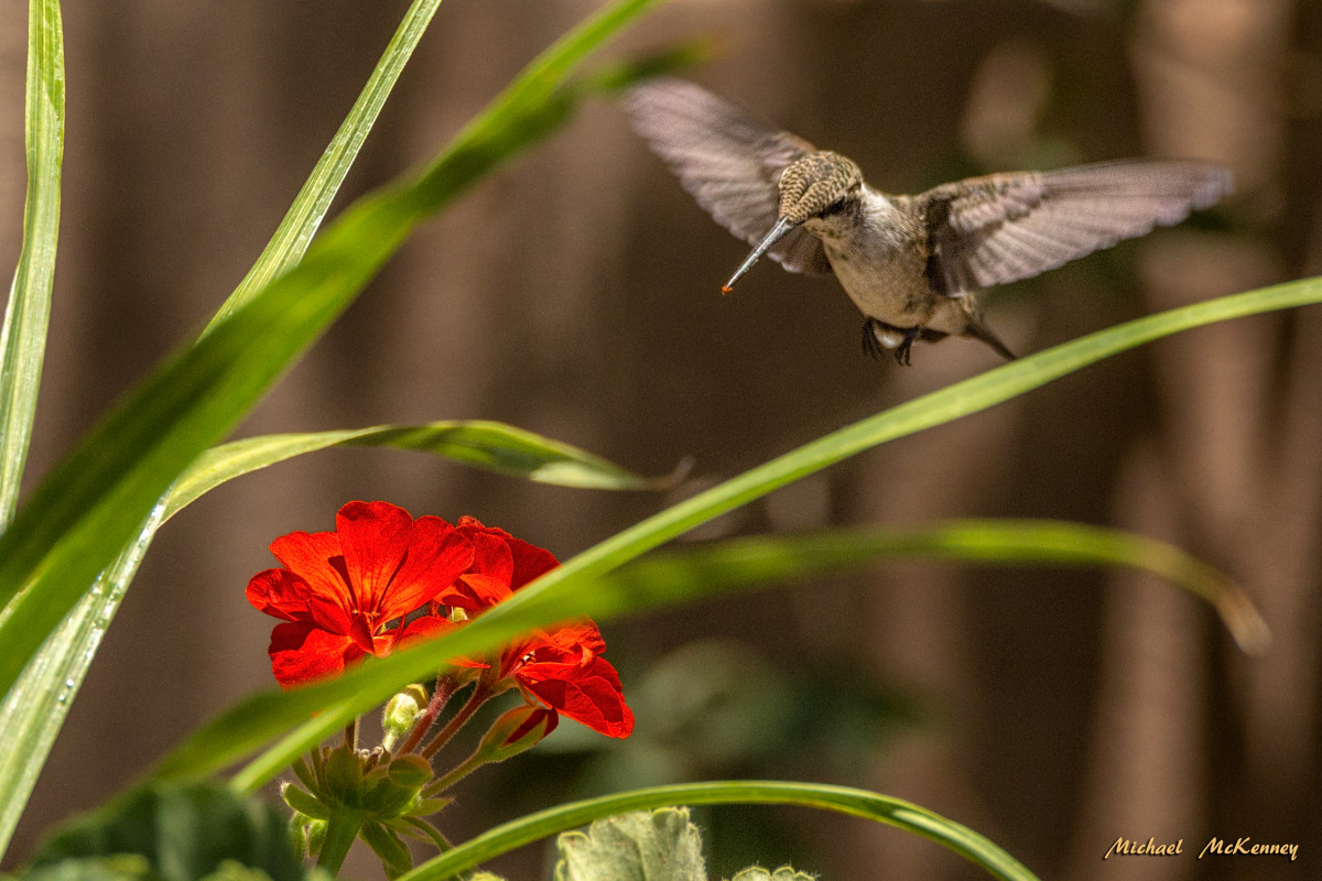 The hummingbirds are attracted to red flowers and my geraniums seemed to be the perfect way to get more of them into my backyard.
