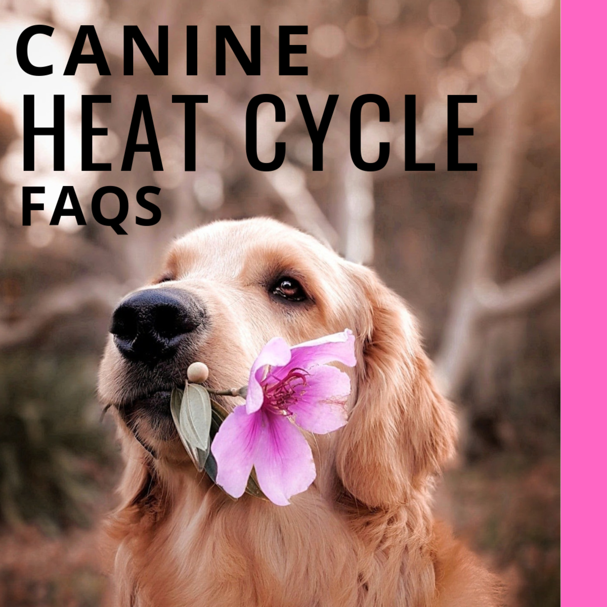Canine Heat Cycle Stages