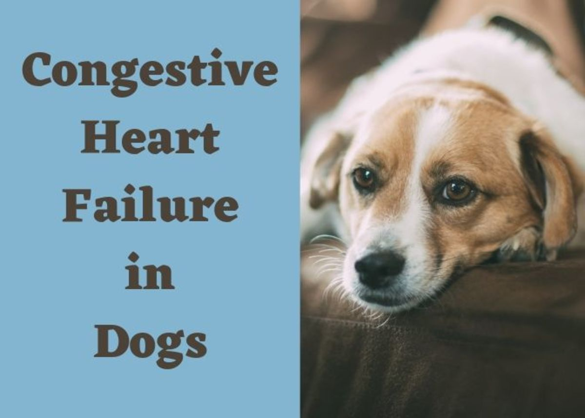 Symptoms And Treatment Of Congestive Heart Failure In Dogs