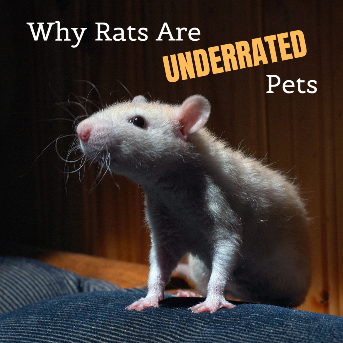 Rats do not deserve their bad reputation. Find out why they're terrific pets!