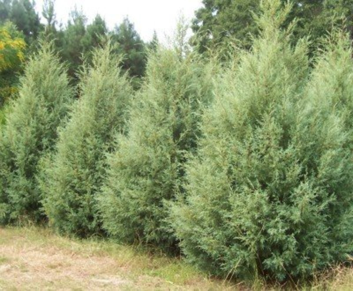 Fast-Growing Evergreens for Privacy