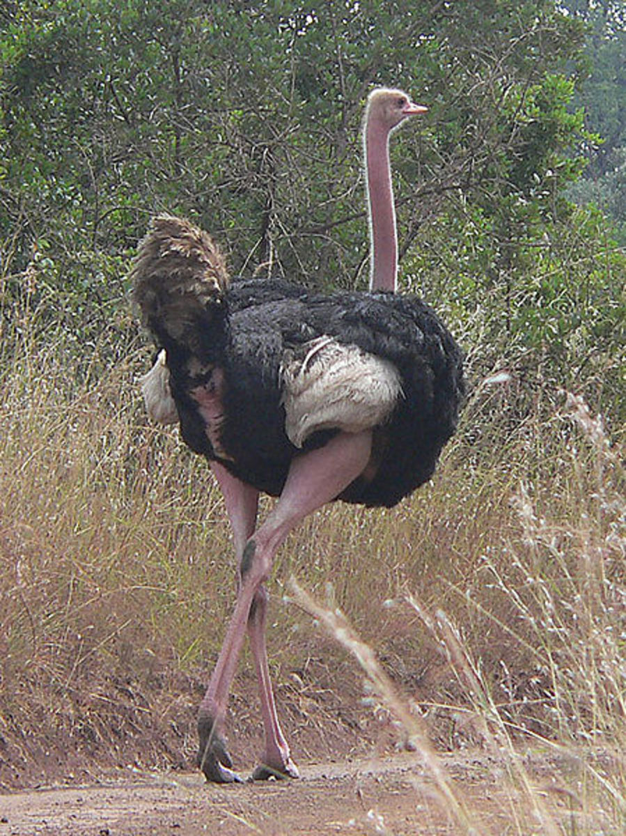 The Ostrich, a poem about ostriches